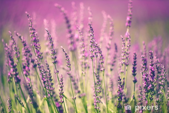Fototapeta zmywalna Kwiat lawendy -