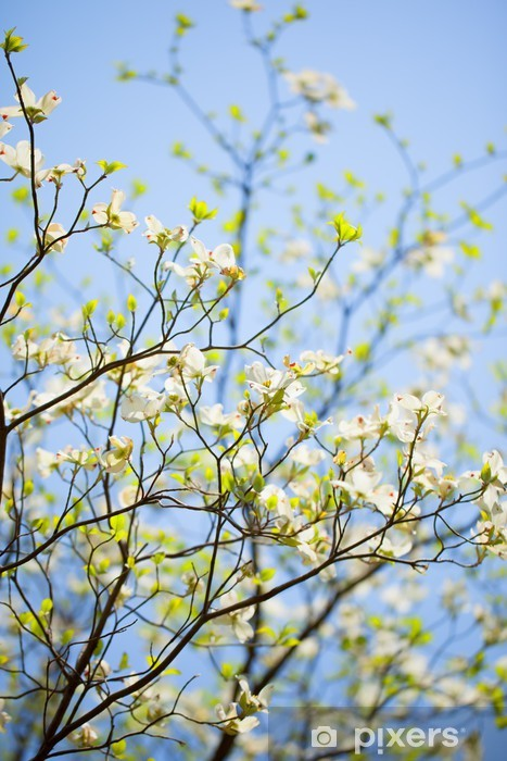 White Flowering Dogwood Tree In Bloom In Sunlight Wall Mural