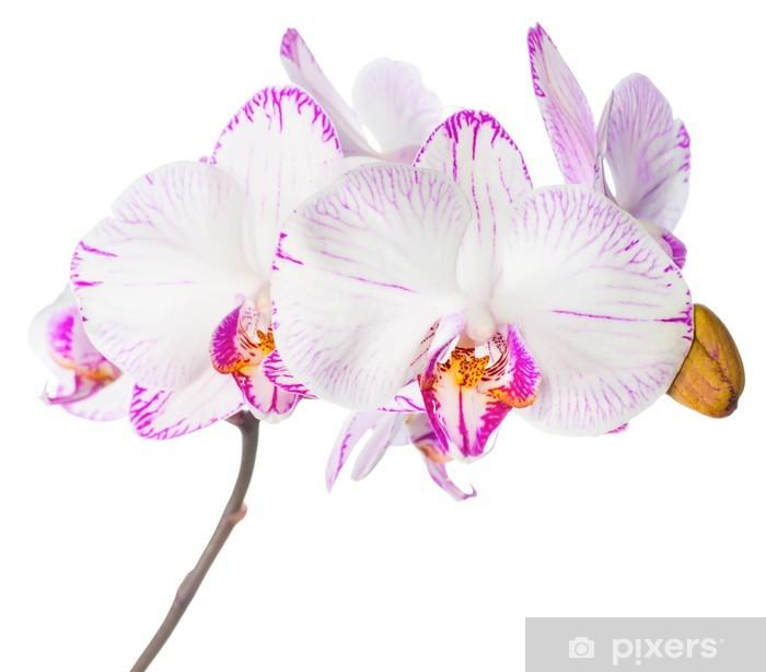 Naklejka Pixerstick Kwitnienie bzu paski orchidea, Phalaenopsis jest na białym tle - Naklejki na ścianę