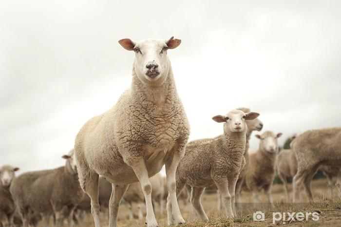 Fototapeta winylowa Szczycie stosu owiec - Ssaki