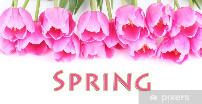 Fototapeta winylowa Piękne różowe tulipany na białym tle. - Kwiaty