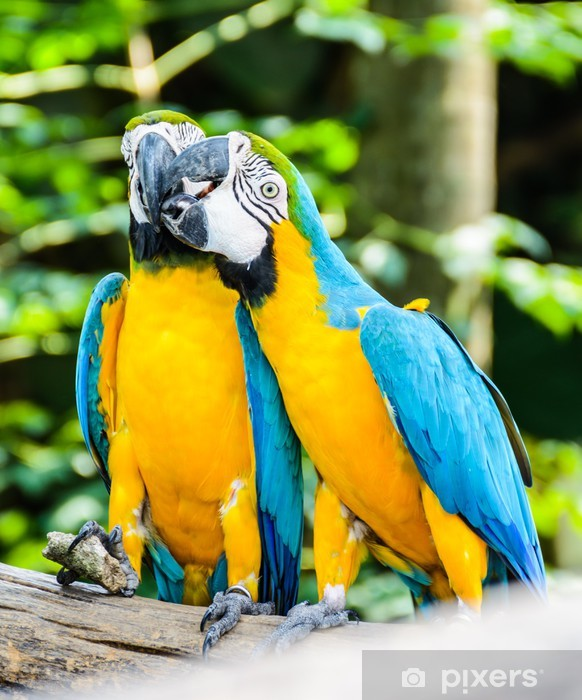 Best of kissing sweet macaw, blue-winged macaw Vinyl Wall Mural - Themes