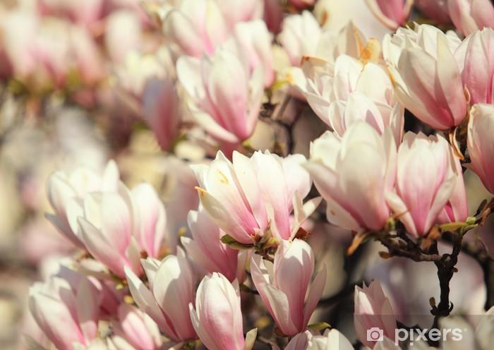 Sticker Pixerstick Beautiful magnolia rose fleurissent au printemps - Fleurs