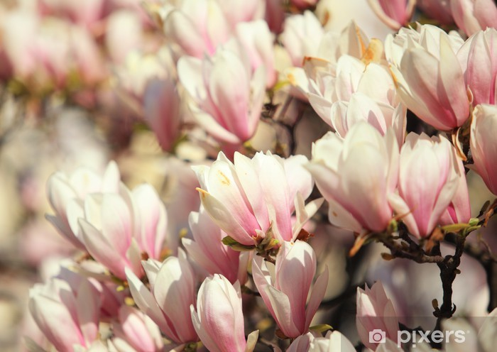 Beautiful pink magnolia blossom in spring Vinyl Wall Mural - Flowers