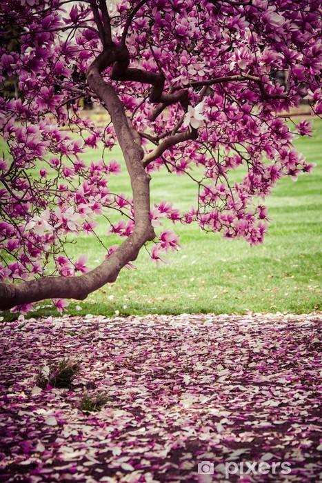 Pixerstick Aufkleber Magnolienbaum in voller Blüte. Viele zarte Blumen. - iStaging