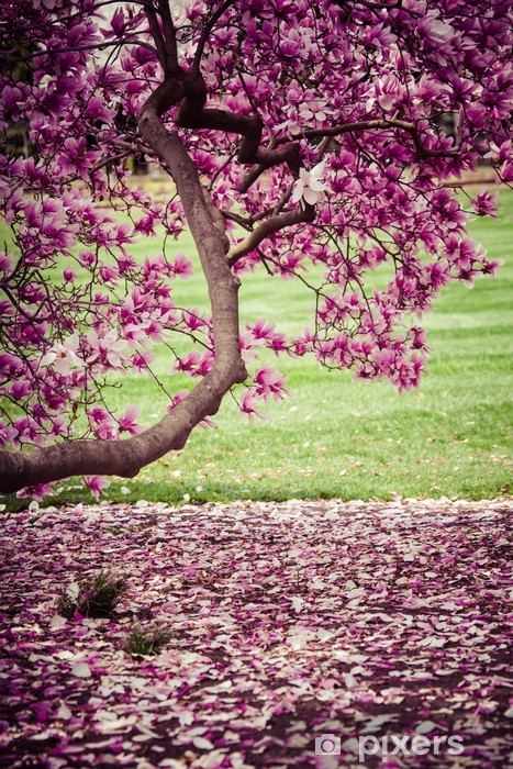 Magnolia tree in bloom. Many tender flowers. Pixerstick Sticker - iStaging