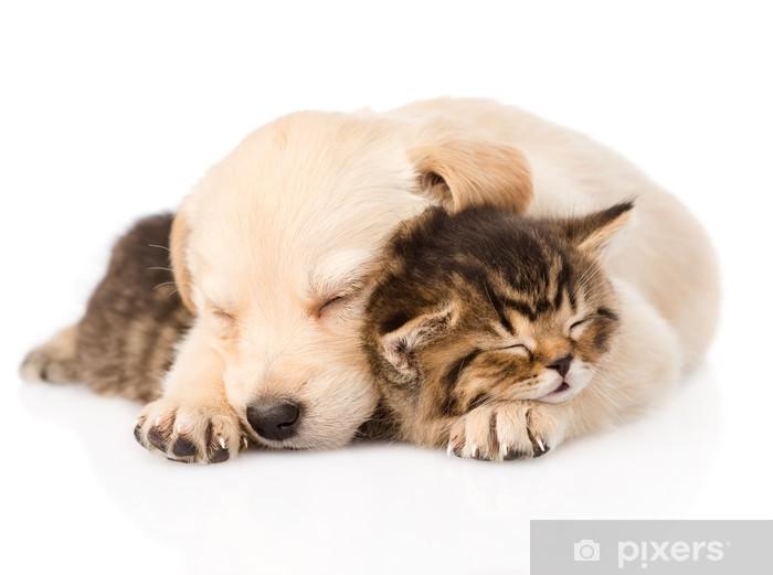 Naklejka Pixerstick Golden Retriever Szczeniak spać British kitten. izolowane - Ssaki