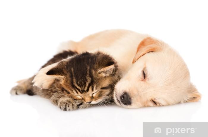 Papier peint vinyle Golden retriever chiot dormir avec chaton british. isolé - Mammifères