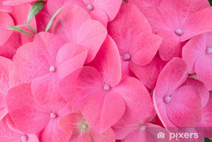 Vinilo Pixerstick Pink hortensias hortensias - Flores