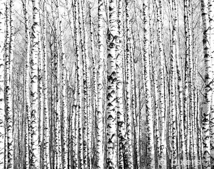 Carta da Parati in Vinile Tronchi di primavera di betulle in bianco e nero - Stili