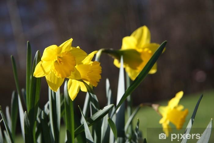 Papier peint vinyle Narcisse sauvage close-up - Fleurs