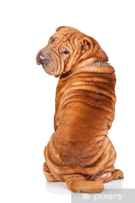 Sharpei looking back isolated on white background Vinyl Wall Mural -