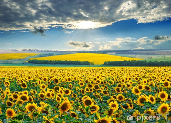 Sunrise over sunflower fields Pixerstick Sticker - Themes