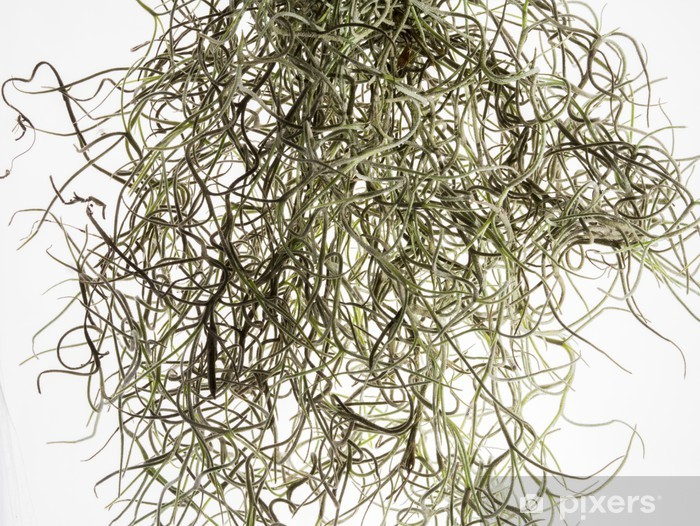 Fototapeta winylowa Mech włosów - Rośliny
