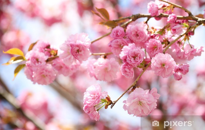 Sakura Cherry Blossom In Springtime Beautiful Pink Flowers Wall