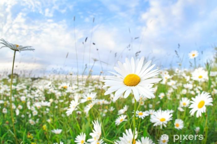 Papier peint vinyle Fleur de camomille sur ciel bleu - Fleurs