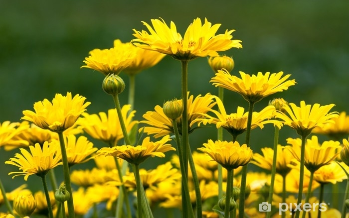 Keltaiset kukat Pesunkestävä valokuvatapetti - Kasvit Ja Kukat