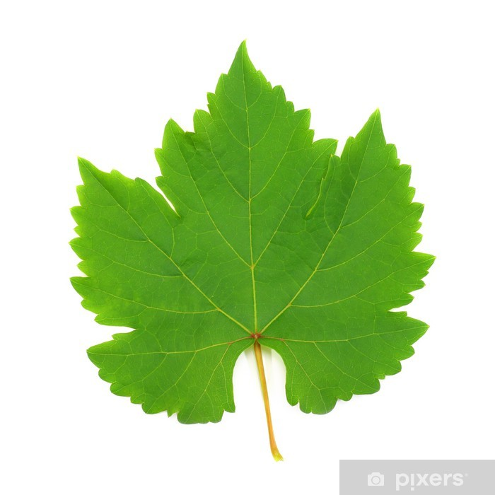 Fresh Green Grape Leaf isolated on white Background Vinyl Wall Mural - Wonders of Nature