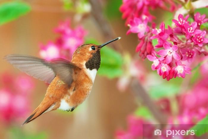 Naklejka Pixerstick Ryży karmienia koliber na kwitnienia porzeczki - Ptaki