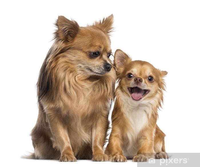Plakat Chihuahua siedzi i patrząc do szczęśliwego chihuahua - Ssaki