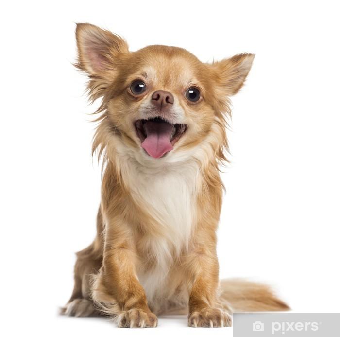 Plakat Szczęśliwy Chihuahua (4 lata) - Przeznaczenia
