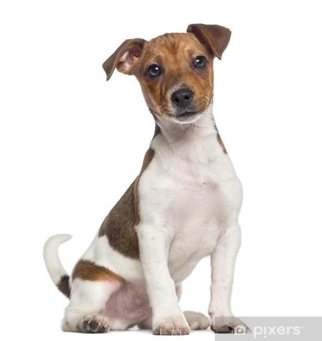 9e3b1ba5680 Fototapeta Jack Russell teriér štěně sedí (3 měsíce) • Pixers ...