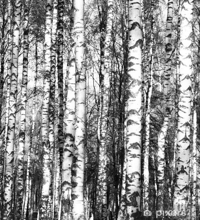 Fototapeta winylowa Brzozy w czerni i bieli - Tematy