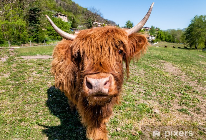 Scottish Highland Cow on the meadow Washable Wall Mural - Agriculture