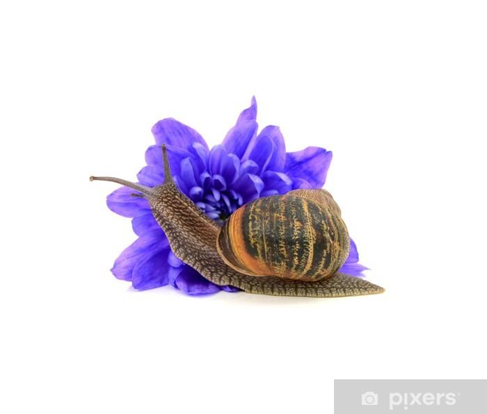 Poster Ravageurs de jardin, l'escargot, mange un chrysanthème fleur bleue - Maisons et jardins
