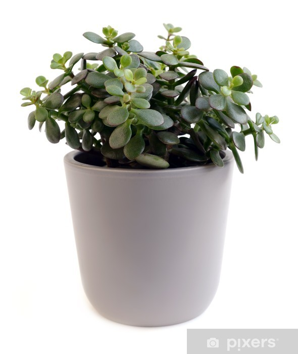 Papier peint vinyle Arborescens Crassula - Plantes