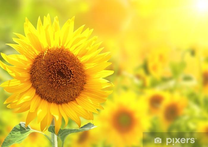 Naklejka Pixerstick Żółte słoneczniki - Tematy