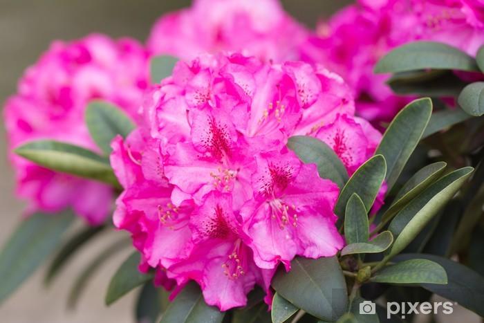 Fototapeta winylowa Różowe kwiaty rododendronów - Kwiaty