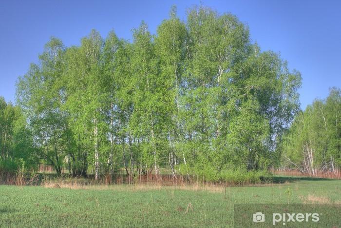 Fototapeta winylowa Brzozowy las - Lasy
