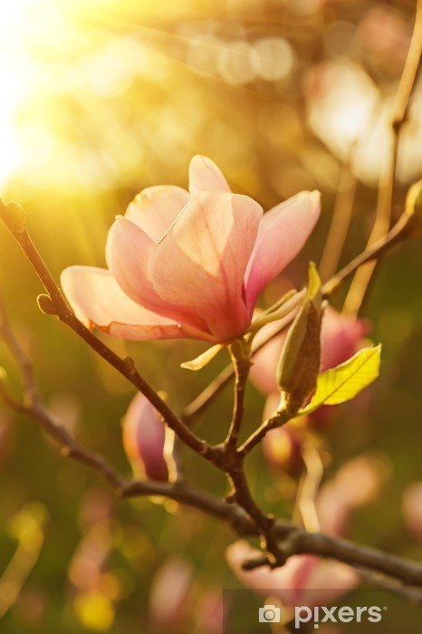 Magnolia Flowers Wall Mural Pixers We Live To Change