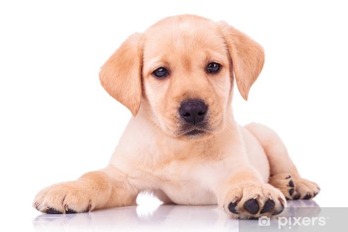 adorable seated labrador retriever puppy dog Vinyl Wall Mural - Themes