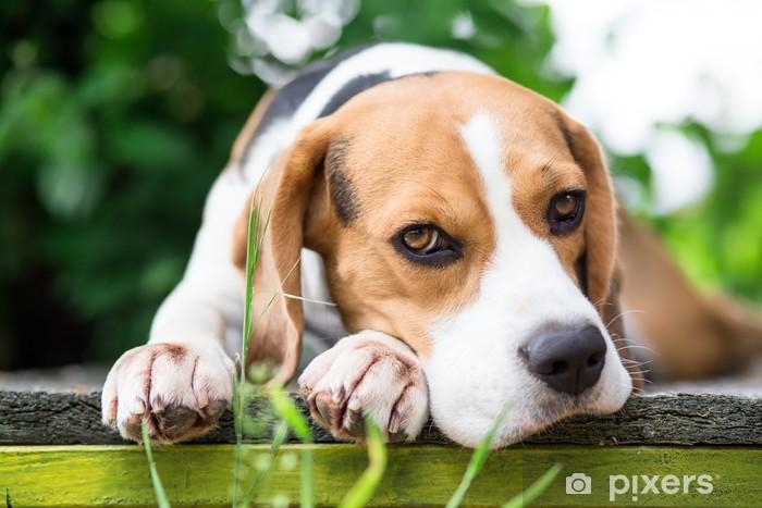 Vinyl Fotobehang Beagle hond in de tuin in de camera kijken - Zoogdieren