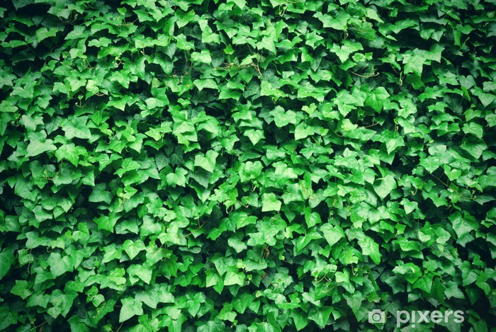 Thick green ivy leaves background Vinyl Wall Mural - Seasons