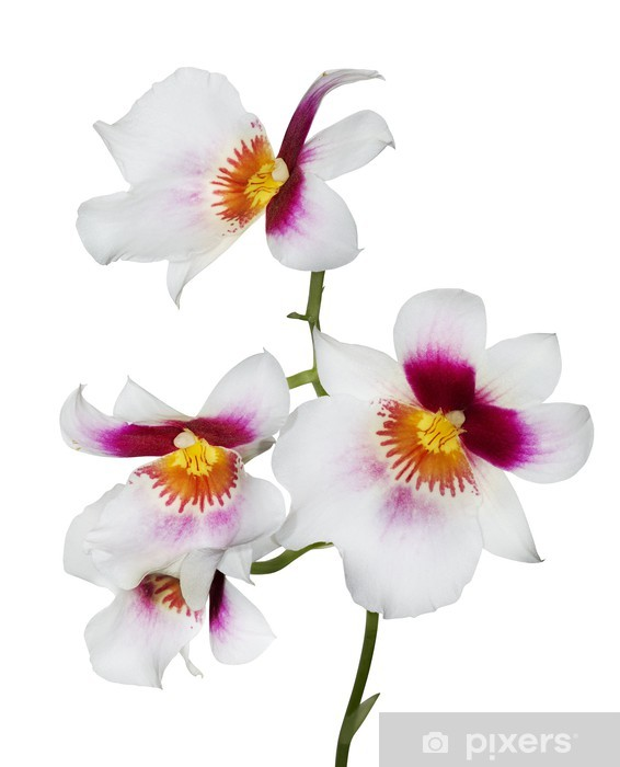 Four White Orchid Flowers With Pink And Yellow Center Wall Mural