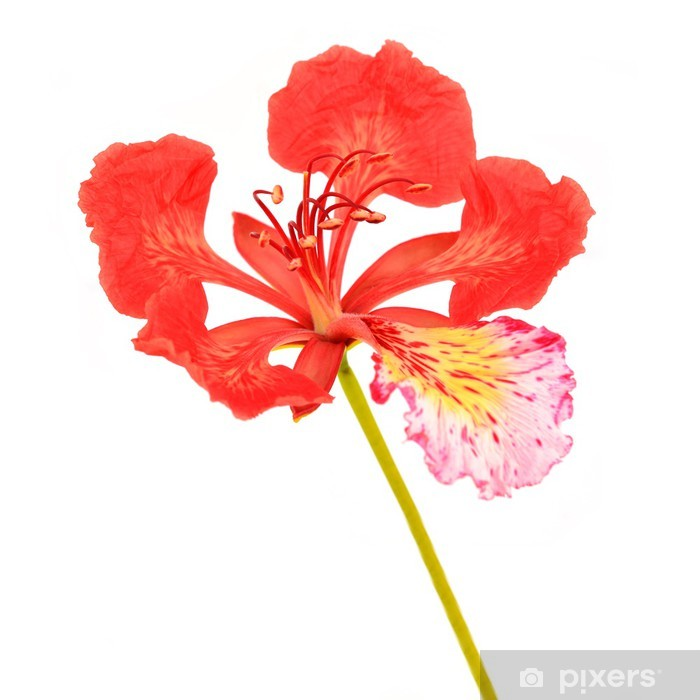Pride Of Barbados Flower Wall Mural Pixers We Live To Change