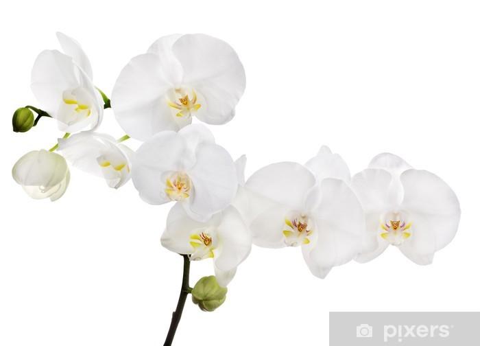 Naklejka Pixerstick Duża biała orchidea kwiatu oddział izolowane - Naklejki na ścianę
