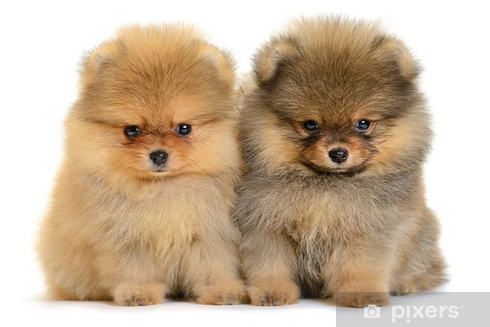 Pomeranian Puppy Wall Mural Pixers 174 We Live To Change