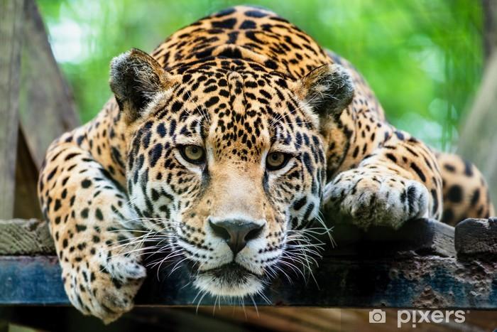 Fototapeta winylowa Jaguar Ameryki Południowej - Tematy