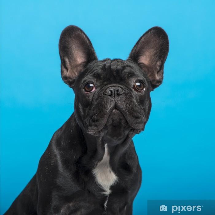 Fototapeta winylowa Buldog francuski puppy (3 miesiące), headshot, niebieskie tło - Buldogi francuskie