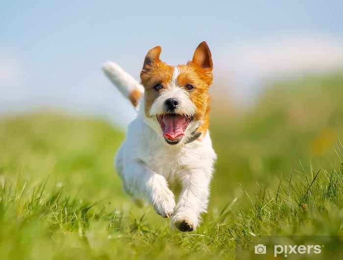 Papier peint vinyle Jack Russell Terrier chien - Thèmes