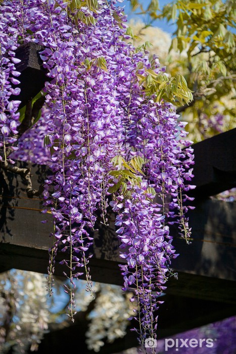 Wisteria Vine Wall Mural Pixers We Live To Change