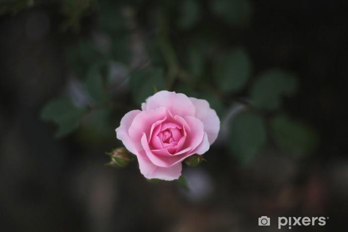 Vinyl-Fototapete Rosarote rosa - Blumen