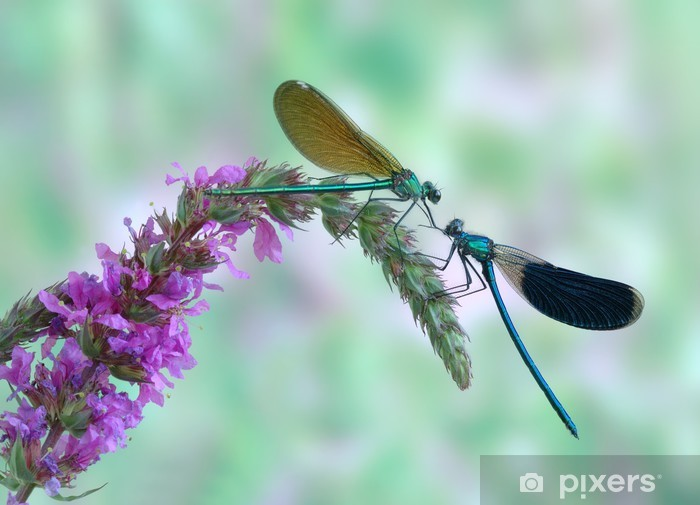 Calopteryx splendens (pair) Vinyl Wall Mural - Other Other
