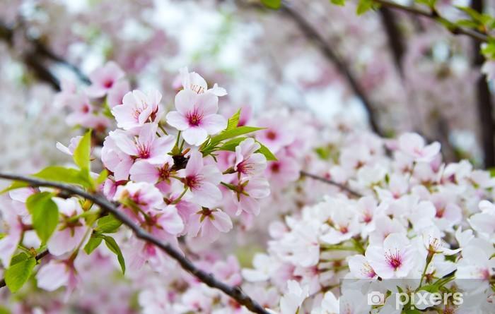 Fototapeta winylowa Kwitnienia wiśni kwiat drzewa w Nashville w stanie Tennessee - Drzewa