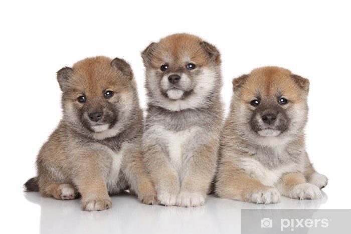 Shiba-inu puppies Pixerstick Sticker - Mammals