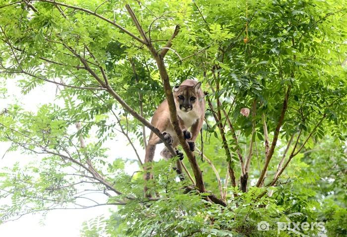 Naklejka Pixerstick Puma wspinaczka na drzewo - Ssaki